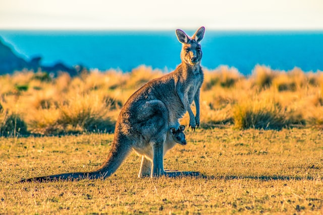 Kangaroo Seen During Private Day Tour