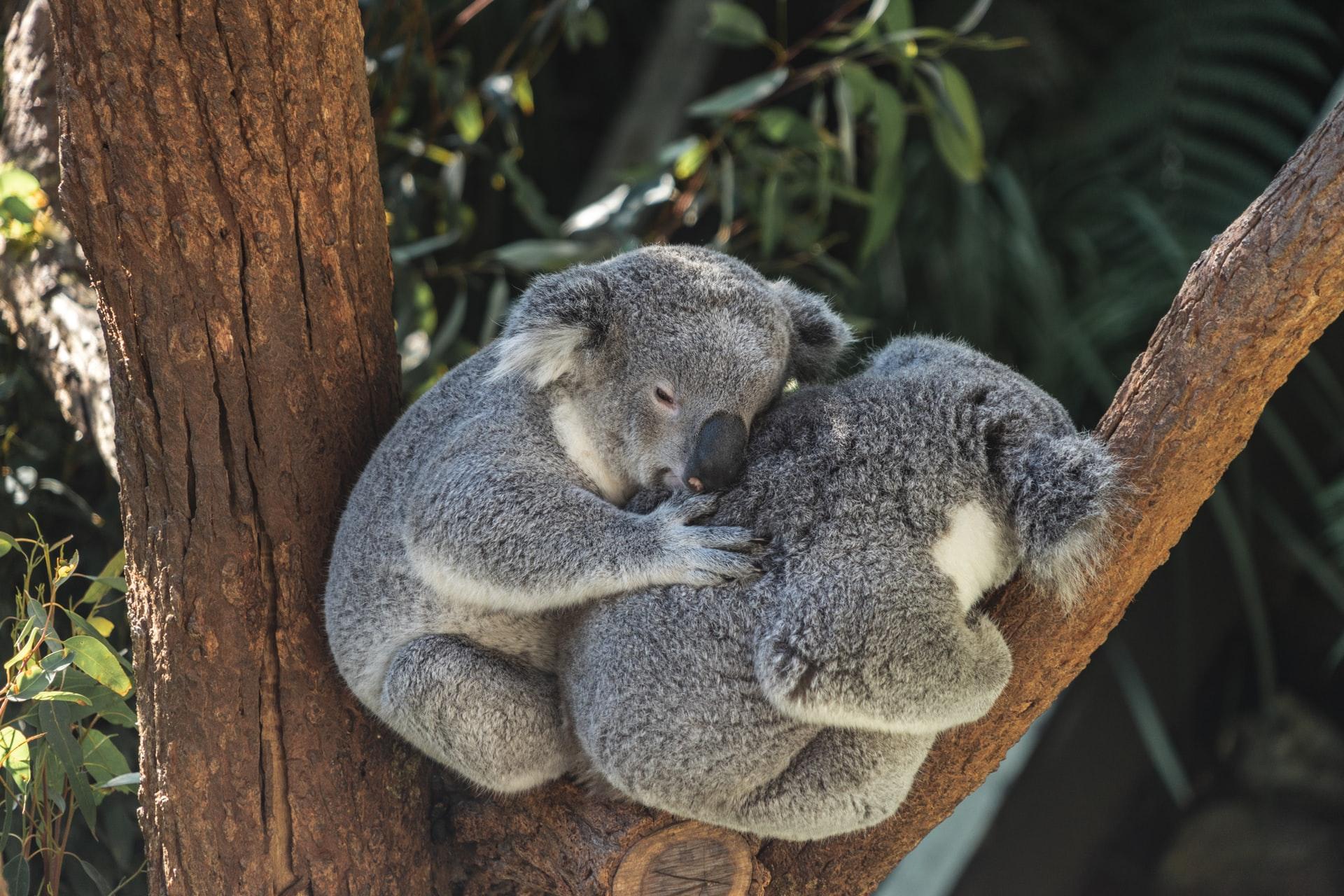 Koala Gold Coast Currumbin Wildlife Sanctuary